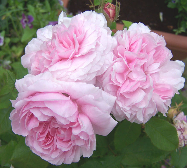 pink_cabbage_rose.jpg
